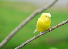 Yellow budgie parrot pet bird Stock Photos