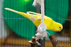 Yellow Budgie Playing. With his rope Stock Image