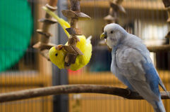 Yellow Budgie Playing. With his swing Stock Photos
