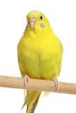 Yellow budgie on a stick Royalty Free Stock Photo