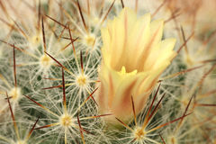 Yellow buds blooming cactus  background Royalty Free Stock Photo