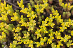 Yellow buds of a small plant. Closeup of yellow buds of a plant Royalty Free Stock Photography