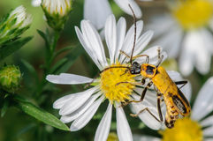 Yellow Bug on a White Flower. Large Yellow and Black Insect on a White Flower Stock Photo