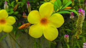 Yellow bugle flower in the garden. Photography Stock Image