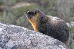 Yellow buktad marmot Fotografering för Bildbyråer