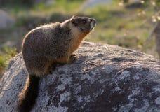 Yellow buktad marmot Royaltyfri Fotografi