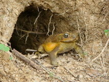 Yellow Bullfrog. A bullfrog standing in front of his tunnel royalty free stock image