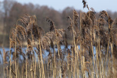 Yellow Bulrush growing on a lake on a sunny day in spring Typha Royalty Free Stock Image
