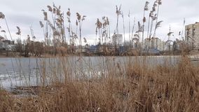 Yellow bulrush by the lake stock video footage
