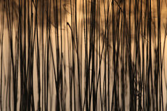 Yellow Bulrush pattern growing on a lake bokeh background textur Stock Photography