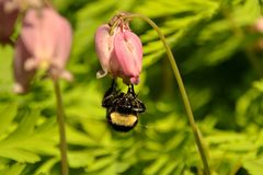 YELLOW BUMBLE BEE. BOMBUS INSECT COLLECTING POLLEN ON A BLEEDING HEART FLOWER Royalty Free Stock Images