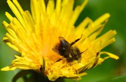 YELLOW BUMBLE BEE. BOMBUS INSECT COLLECTING POLLEN ON A DANDELION FLOWER Royalty Free Stock Photos
