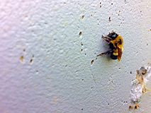 Yellow bumble bee. This bumble bee is hanging out on the wall, slowing down as fall Stock Photography