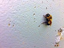 Yellow bumble bee Stock Photography