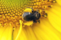 Bumble bee on yellow Stock Photos