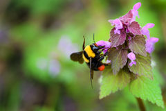 Yellow bumblebee Royalty Free Stock Photography