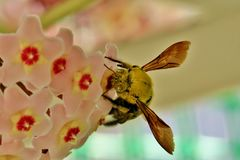 Yellow bumblebee collects pollen from small pink flowers stock photos