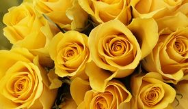 Yellow roses background wallpaper stock photography