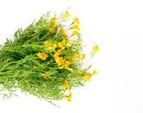 Yellow bunch of Tagetes tenuifolia, Organic edible flowers. Tagetes tenuifolia, Organic edible flowers isolated on white background royalty free stock photo