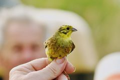 Yellow bunting Royalty Free Stock Images