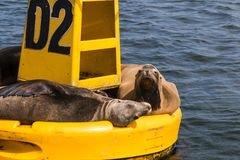 Yellow Buoy With Sea Lions In Ensenada, Mexico Stock Image