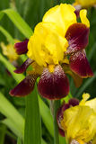 Yellow and burgundy iris Royalty Free Stock Images