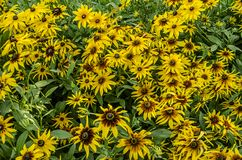 Yellow with burgundy mid bright flowers Rudbecia stock photos