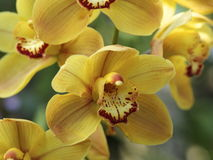 Yellow And Burgundy Orchid Stock Image