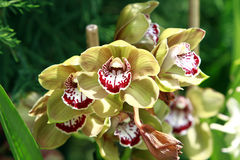 Yellow and burgundy orchids Stock Images