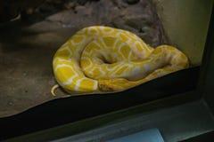 Yellow Burmese Python Snake on the Floor in the mirror Cage at Thailand Snake Farm Bangkok stock photos