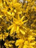 Yellow bush. Closeup of yellow bush in spring Stock Image