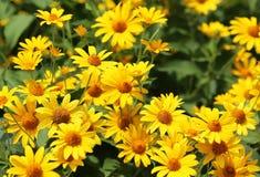 Yellow bush daisy Stock Photos