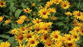 Yellow bush daisy stock footage