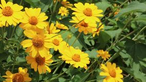 Yellow bush daisy flowers stock video