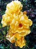 Yellow bush roses Royalty Free Stock Image
