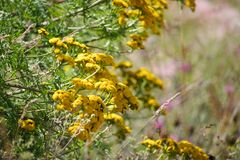 Yellow bush of tansy flowers on a background of blooming meadows. Yellow bush of tansy flowers on a background of blurred blooming meadows stock images