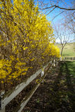 Yellow bushed along the white fence. Yellow bushes in the country Royalty Free Stock Images