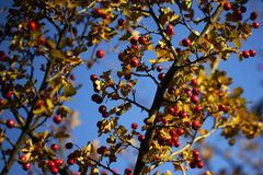 Yellow bushes with red berries Royalty Free Stock Images