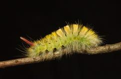 Free Yellow Bushy Caterpillar Profile Royalty Free Stock Image - 102647016