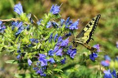 Yellow buterfly licking nectar on the blue blossoms Royalty Free Stock Photo