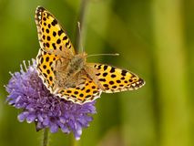 Yellow Buterrfly Issoria lathonia on Flower. This butterfly was shot in Poland Royalty Free Stock Images