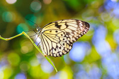 Yellow buttefly Royalty Free Stock Photography