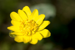 Yellow buttercup Stock Images
