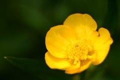 Yellow buttercup. A yellow buttercup against a green grass background Stock Photos