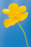 Yellow buttercup Stock Photos
