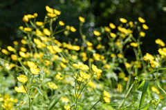 yellow buttercup Stock Image