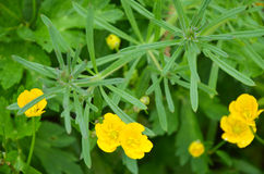 Yellow buttercup in ameadow Stock Photography