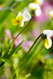 Yellow buttercup flower over green grass. Background Stock Photography