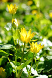Yellow buttercup flower in spring light Royalty Free Stock Images