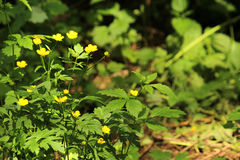 Yellow buttercup Royalty Free Stock Photography